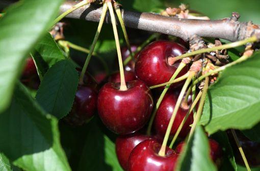 Kirschendieb sägt Bäume ab