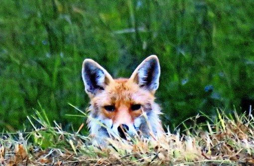 Ein Fuchs, aufgenommen am 4. Juli 2015. Weitere Bilder von Karl-Peter Schlüter aus dem Eichenhain gibt es in unserer Fotostrecke. Foto: Karl-Peter Schlüter