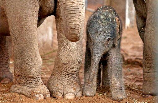 Zoo stellt Video von Elefanten-Geburt ins Netz