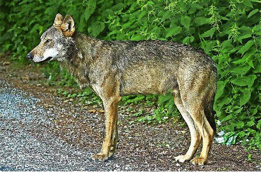 Nabu eröffnet Jagd auf Wolfstöter