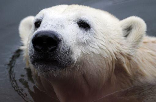 Drei Eisbärfurien setzen Knut zu