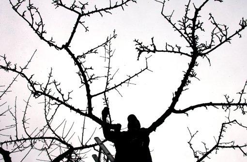 Kernobstbäume können an frostfreien Tagen ebenfalls geschnitten werden: Weg gehören vor allem Äste, die steil nach oben oder nach innen wachsen. Besonders ausgelichtet wird die Baumspitze. Foto: dpa