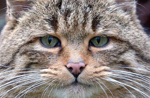 Kopfgeld auf Katzen im australischen Busch