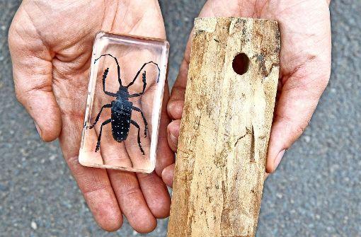 Asiatischer Käfer gefährdet den Wald